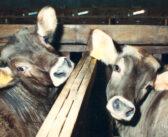 """Perché i vegani non mangiano i derivati animali """"biologici""""?"""
