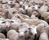 Perche' i vegani rifiutano la lana?
