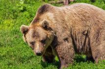 cattura dell'orso