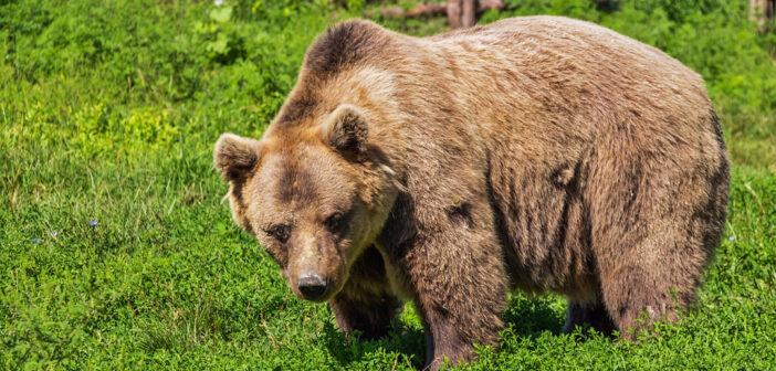 La storia dell'orsa Daniza si ripete
