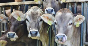vitelli sequestro allevamento Arezzo