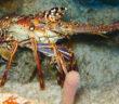 aragosta nel mare