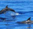 delfini-nuotano-mare