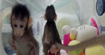 macachi-clonati