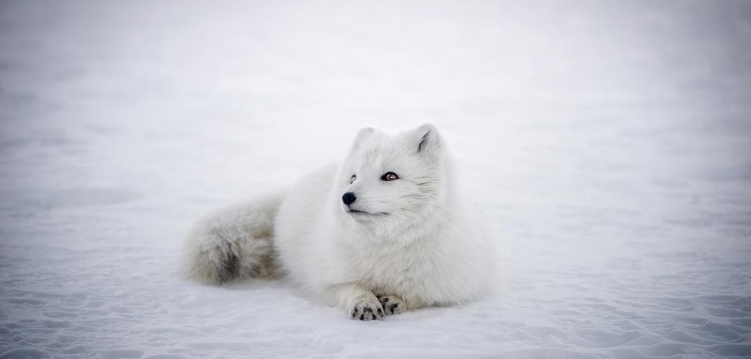 La norvegia vieta gli allevamenti di animali da pelliccia for Dove vive la volpe