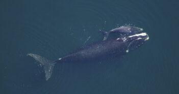 balena-con-cucciolo
