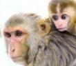 monkey-scimmie