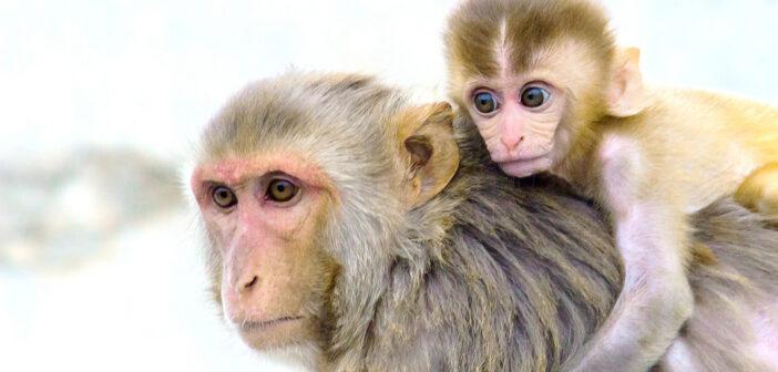 Non è un pianeta per Scimmie: sperimentazione unlimited