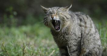 gatto-selvatico