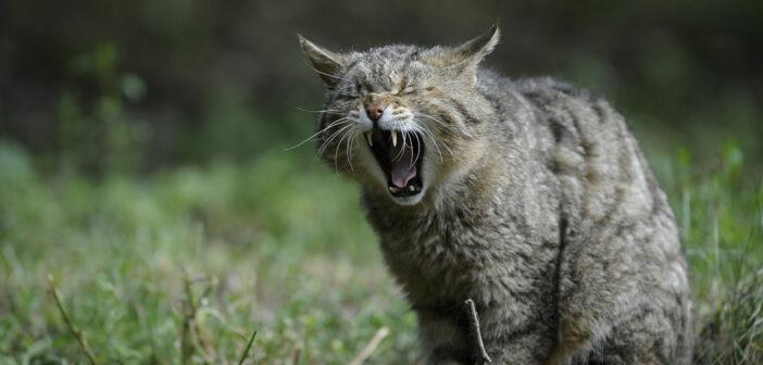Australia: 2 milioni di gatti da uccidere