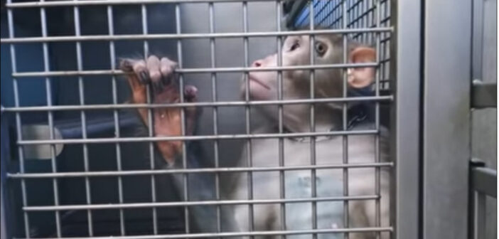 macachi-vivisezione