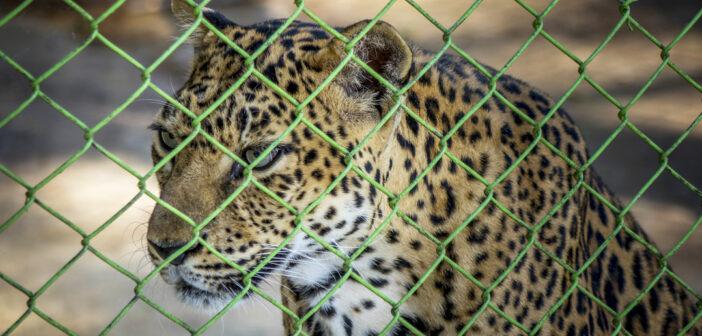 leopardo-zoo