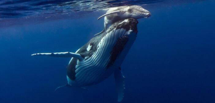 le balene e l'inquinamento